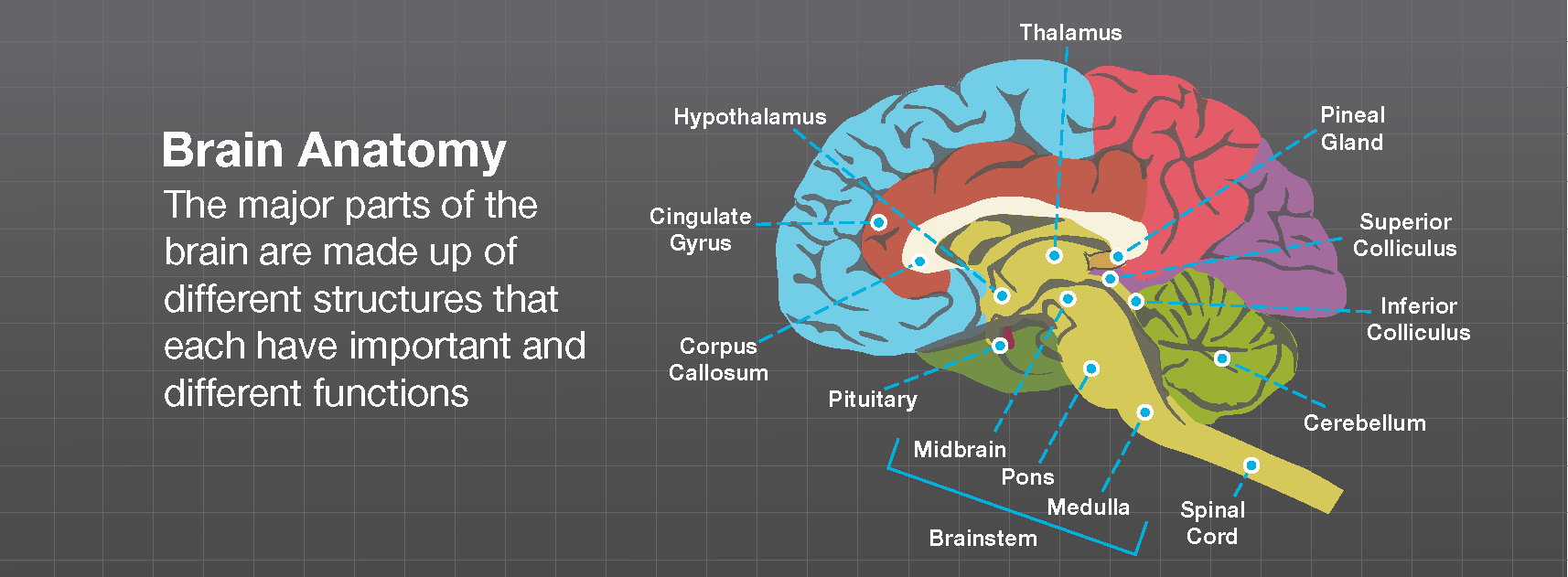 Brain Anatomy Brainlab