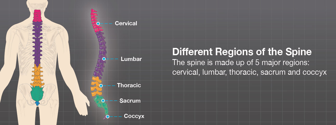 Illustration of the spine major regions