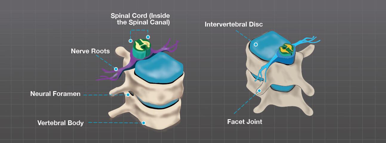 Detailed view of the vertebrae