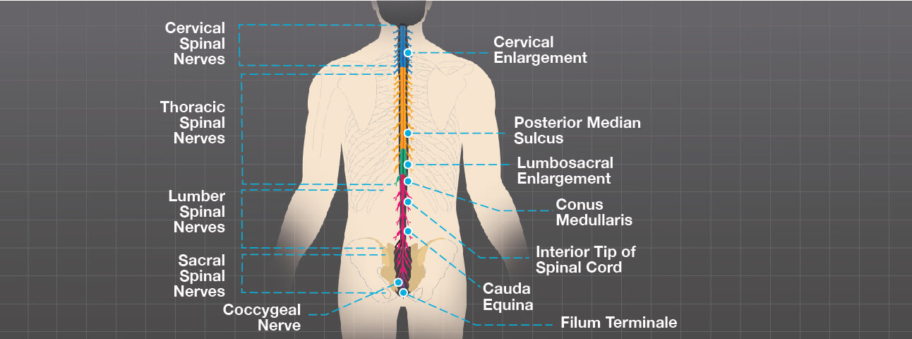Illustration of the different spinal nerves