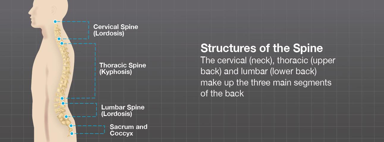 Illustration of the three main segments of the back
